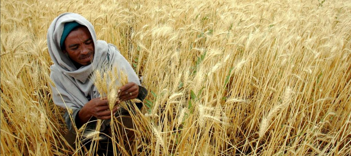 North African farmer in grain field